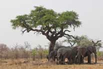 Elephants near tree